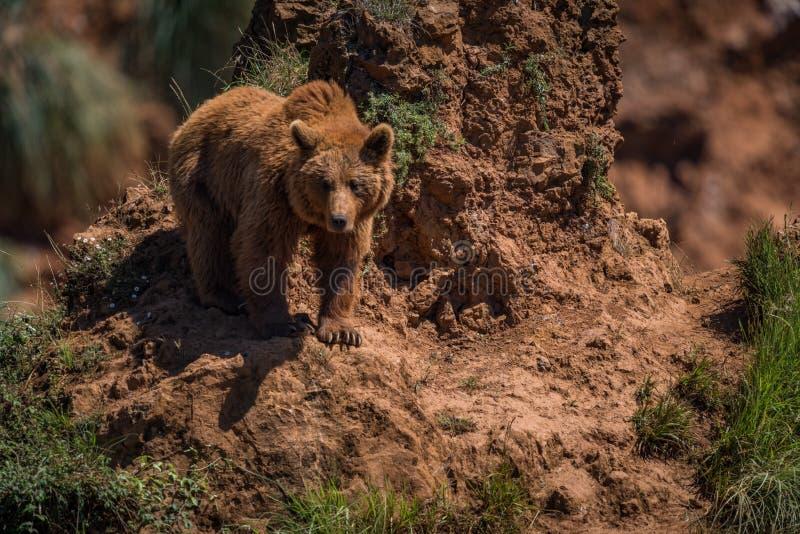 Brown niedźwiedzia zegarki od stromego skalistego wychodu zdjęcie royalty free