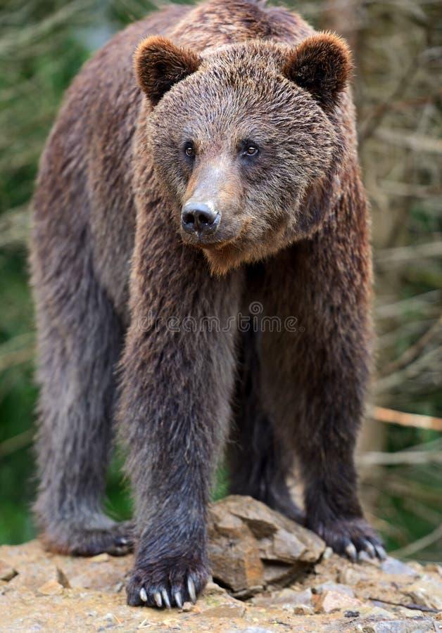 Brown niedźwiedzie zdjęcie royalty free