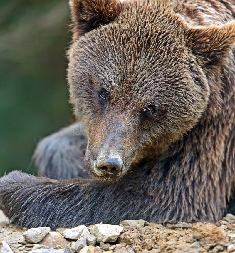 Brown niedźwiedzie fotografia stock