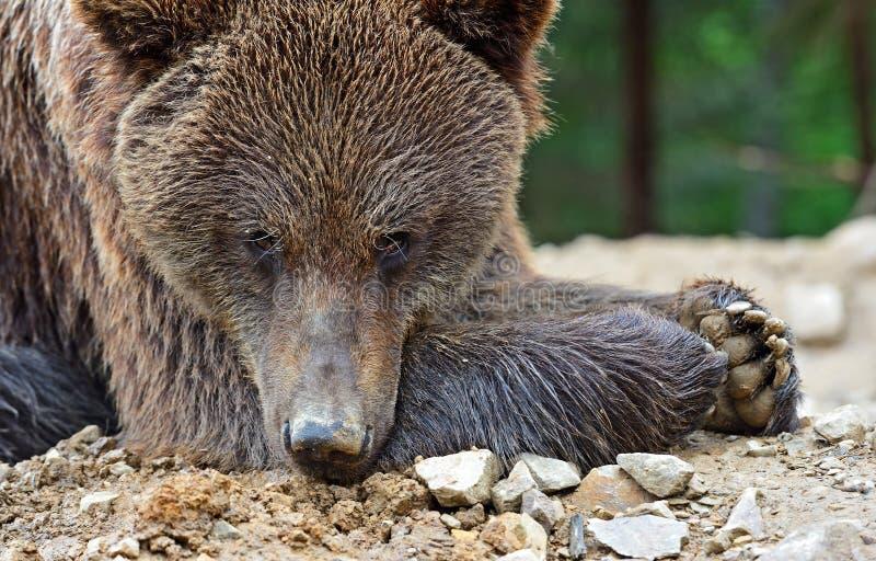 Brown niedźwiedzie fotografia royalty free