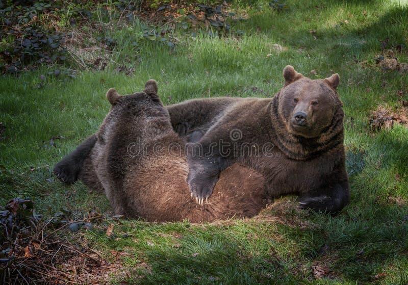 Brown niedźwiedzie zdjęcia stock