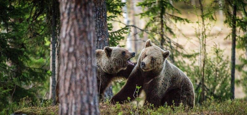 Brown niedźwiedzie figlarnie walczy zdjęcie stock