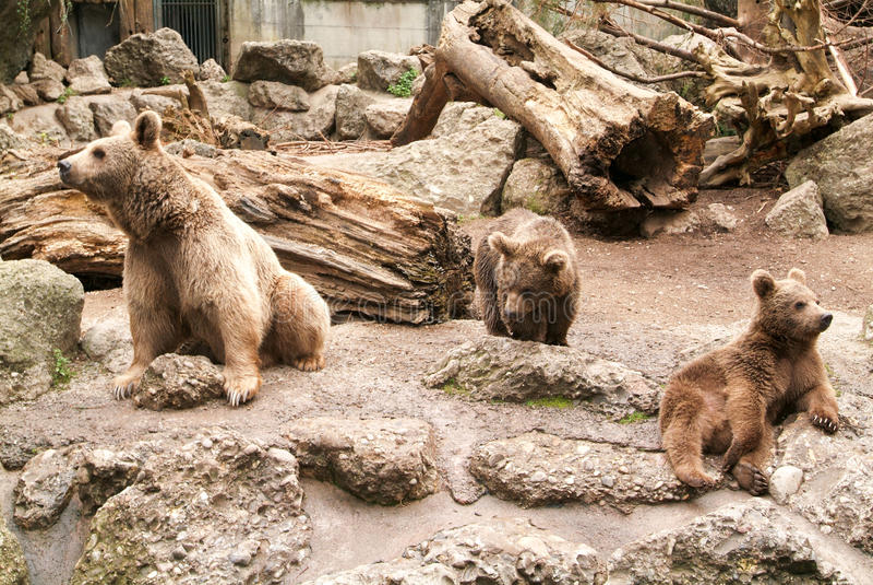 Brown niedźwiedzie przy zoo przy Goldau zdjęcie royalty free
