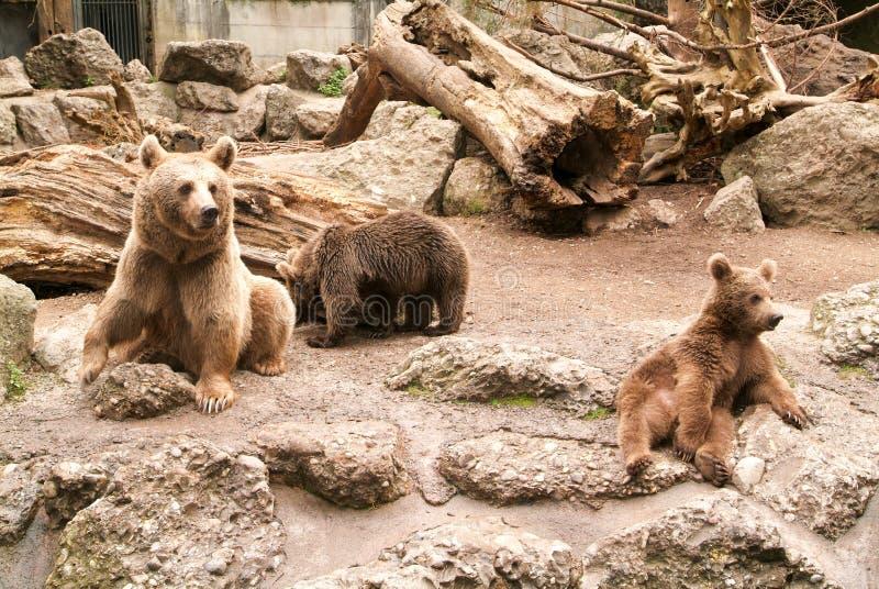 Brown niedźwiedzie przy zoo przy Goldau fotografia royalty free