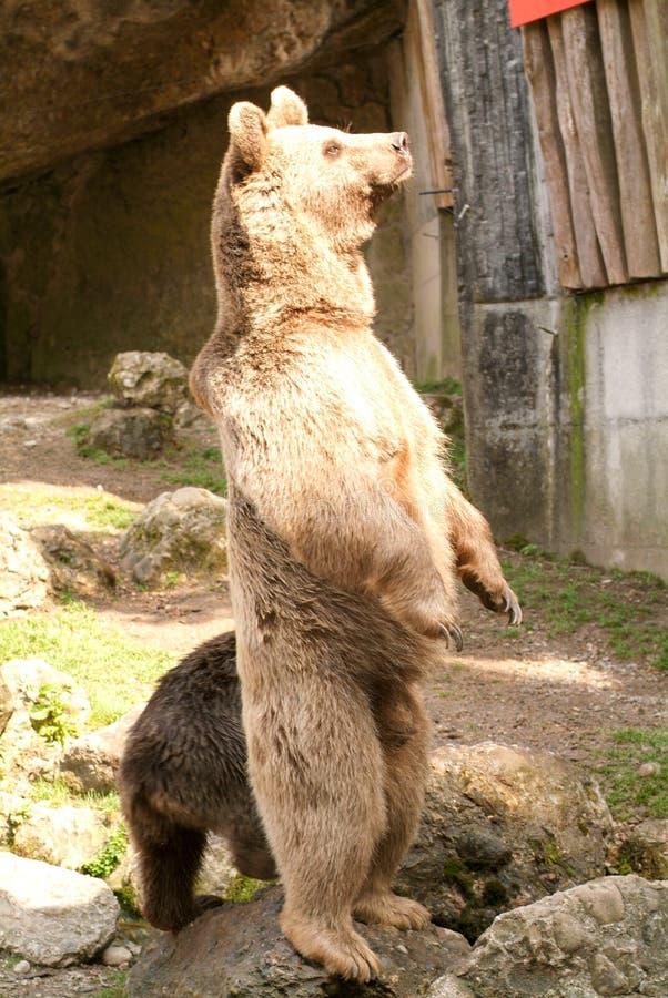 Brown niedźwiedzie przy zoo przy Goldau zdjęcia stock