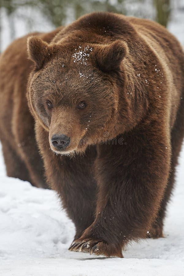 Brown niedźwiedzie w śniegu obrazy royalty free