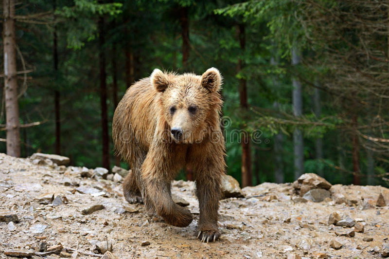 Brown niedźwiedzie w Carpathians. zdjęcia royalty free