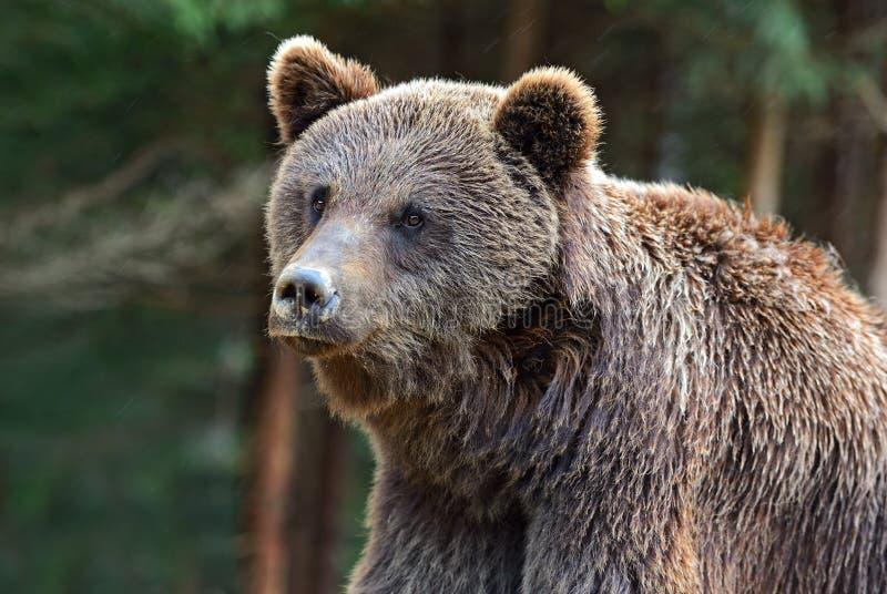 Brown niedźwiedzie w Carpathians. fotografia royalty free
