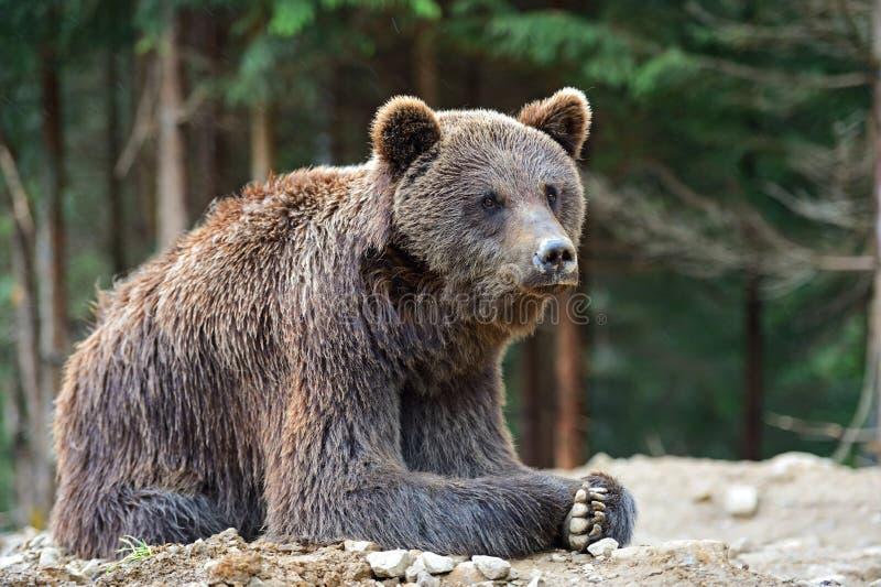 Brown niedźwiedzie w Carpathians. zdjęcie stock