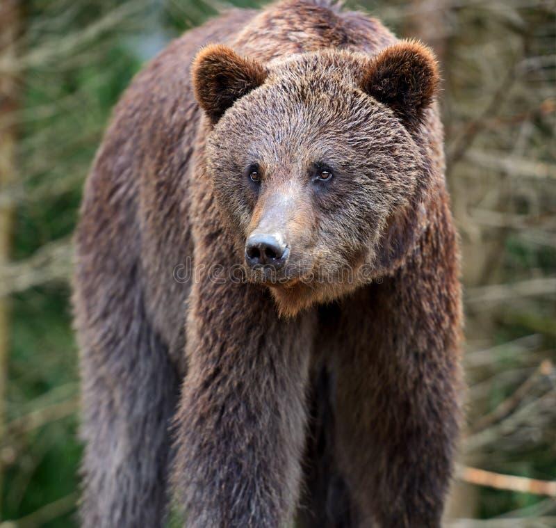 Brown niedźwiedzie w Carpathians. zdjęcia stock