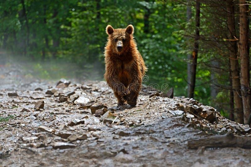Brown niedźwiedzie w Carpathians. obraz stock