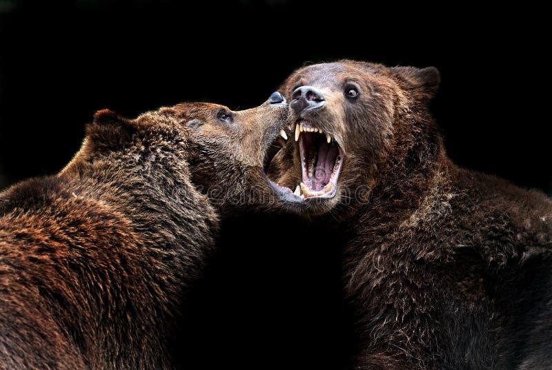 Brown niedźwiedzie w Carpathians. obraz royalty free
