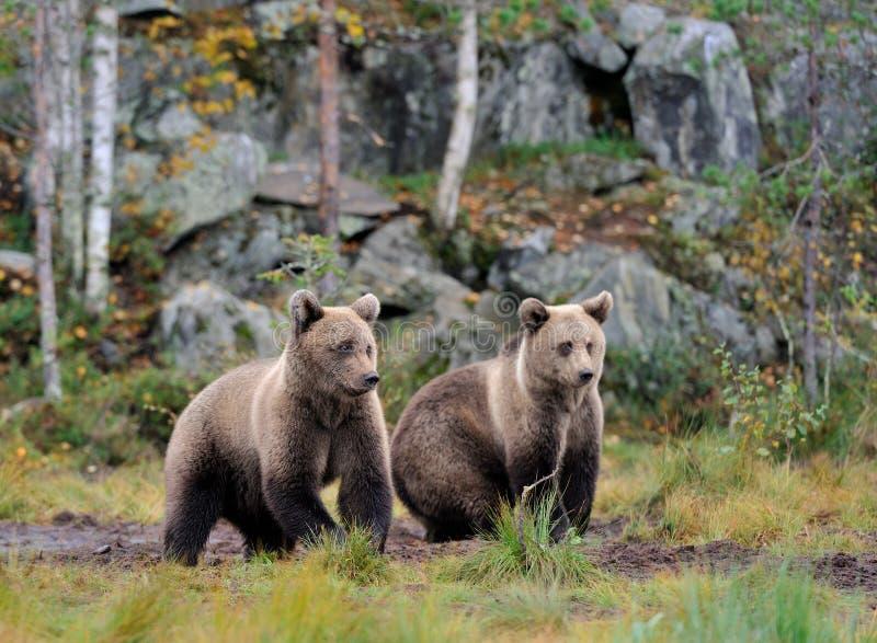 Brown niedźwiedzie w jesieni zdjęcia royalty free