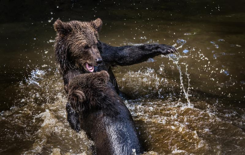 Brown niedźwiedzie walczy w rzece fotografia stock
