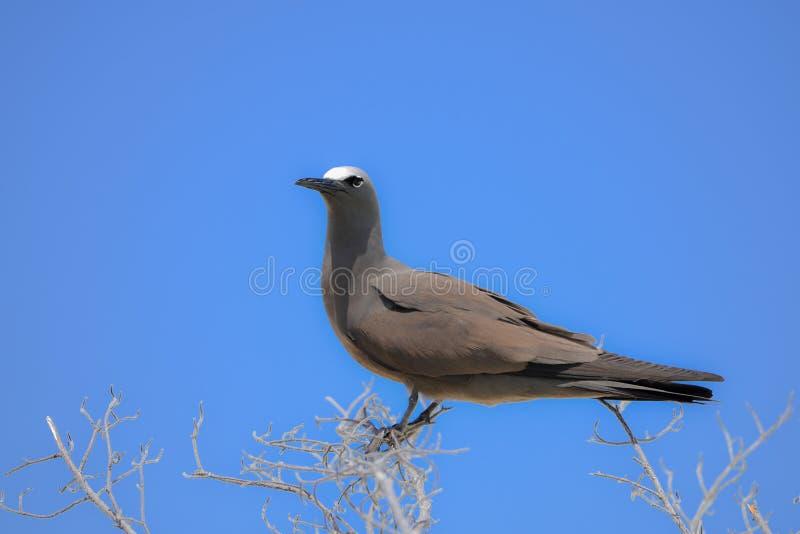 Brown Noddy, oiseau images libres de droits