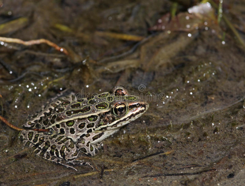 Brown Northern Leopard Frog. A brown morph Northern Leopard frogs (Lithobates pipiens) sitting in the mud at the edge of a lake. Shot in Muskoka, Ontario, Canada stock photos
