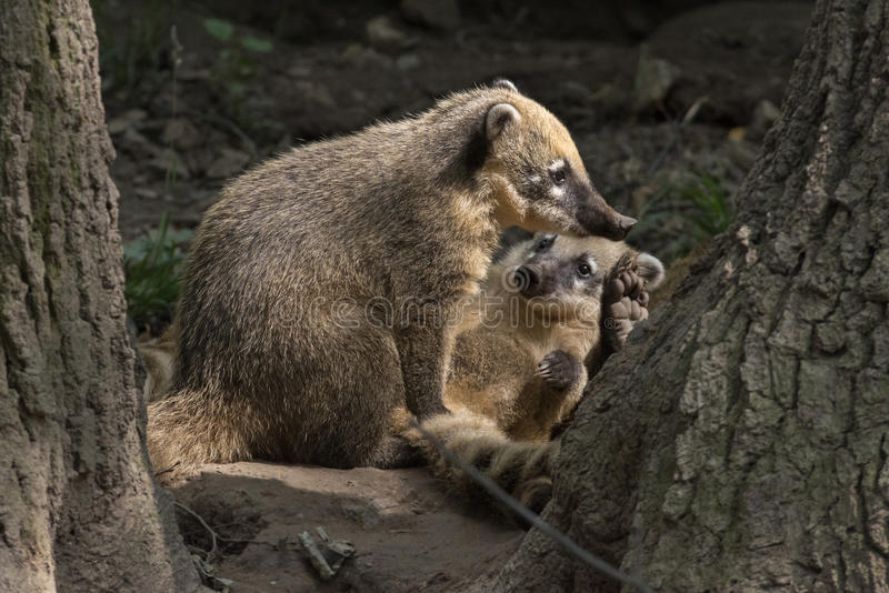 Brown-nosed Coati stock photo