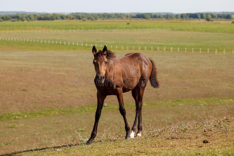 Brown ogier, koń w paśniku/ obrazy royalty free