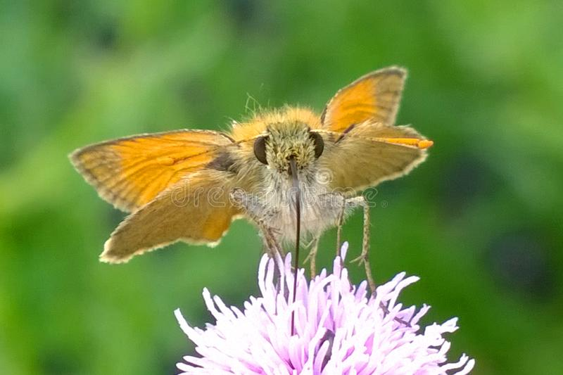 Brown orange butterfly feeding on thistle royalty free stock photography