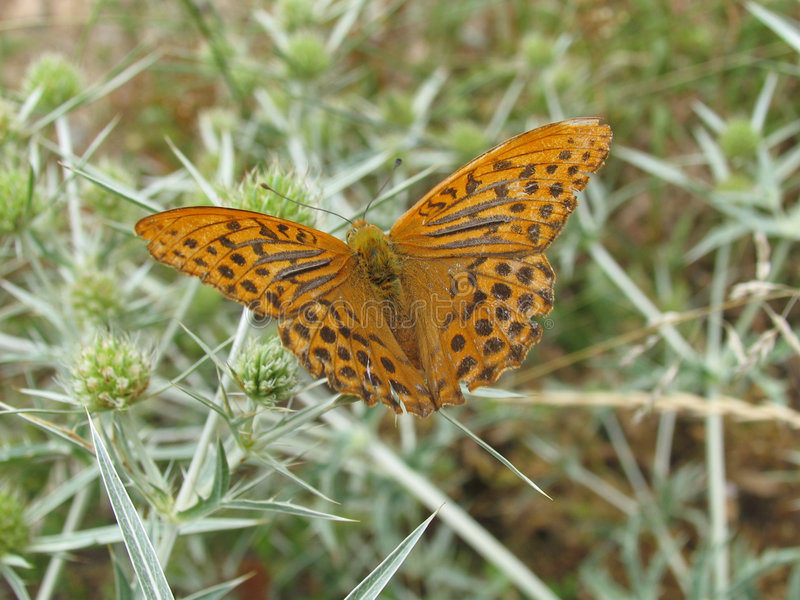 Brown/orange butterfly on thistle stock image