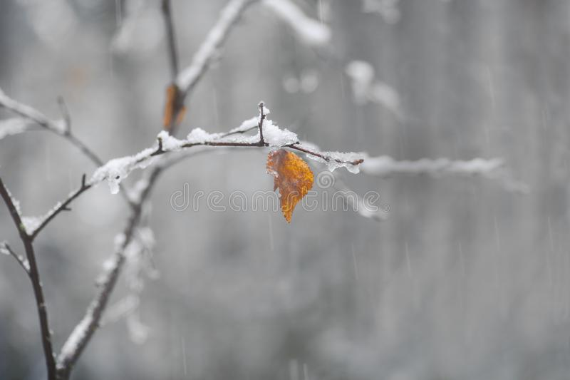 Brown and orange leaf on birch tree on snowy autumn day stock photos