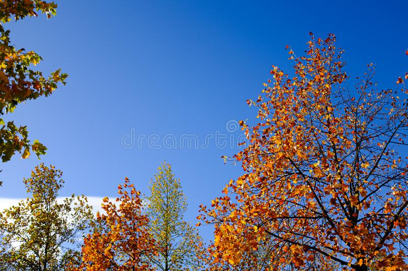 Brown and orange leaves on a tree branches on a solid blue background stock image
