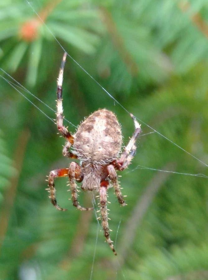 Brown and Orange Spider stock photo