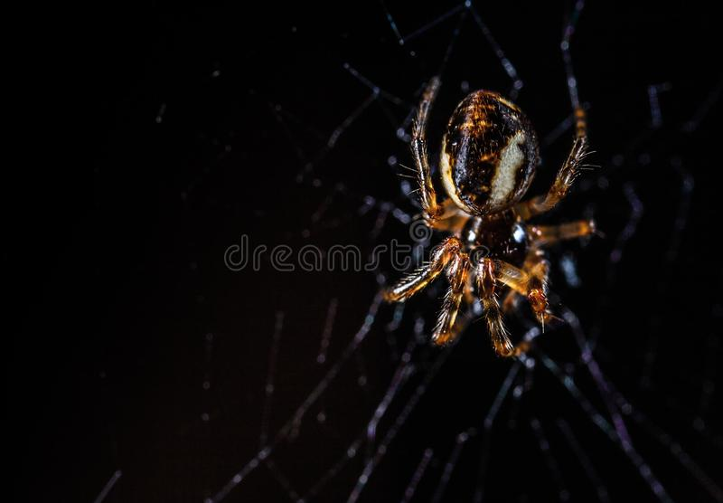 Brown Orb Weaving Spider royalty free stock images