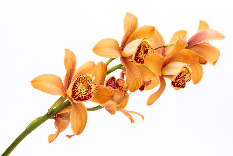 Brown orchid flowers royalty free stock photography