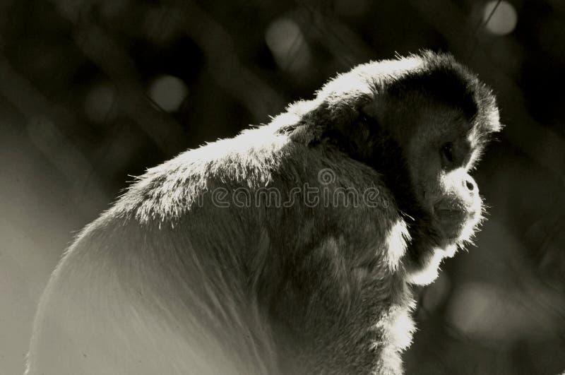 Brown ou Capuchins adornados, macaco do pino, capuchin Preto-tampado fotos de stock