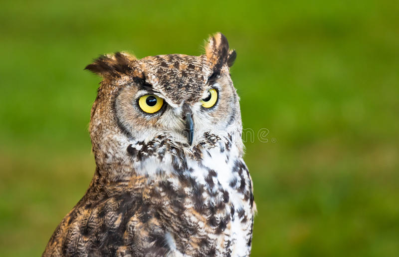 Brown owl closeup royalty free stock image
