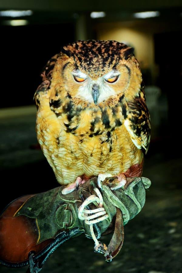 golden owl stock image