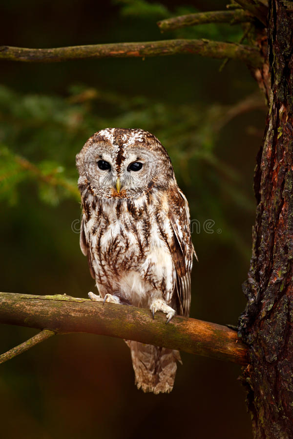 Free Brown Owl Sitting On Tree Stump In The Dark Forest Habitat With Catch. Beautiful Animal In Nature. Bird In The Sweden Forest. Wild Royalty Free Stock Photos - 95624168