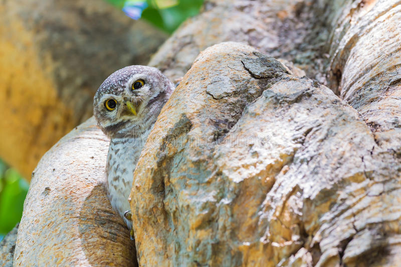 Brown owl on tree hole royalty free stock photo