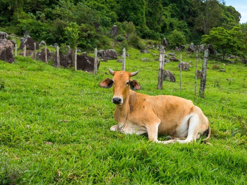 Brown ox on green pasture - bull livestock - cattle raising. Brown ox on green pasture - bull - livestock - cattle raising royalty free stock images