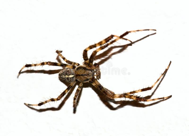 Brown pająk ciący fotografia royalty free