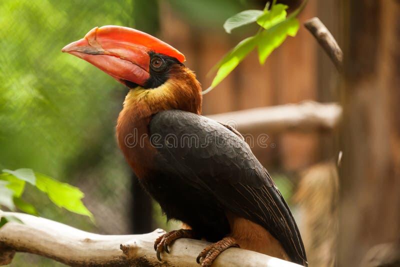 Brown papuga fotografia stock