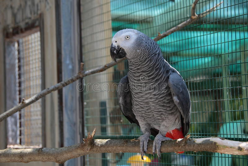Brown papuga zdjęcia royalty free