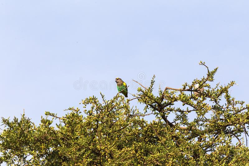 Brown papuga na drzewie Mara kenya masai obrazy royalty free