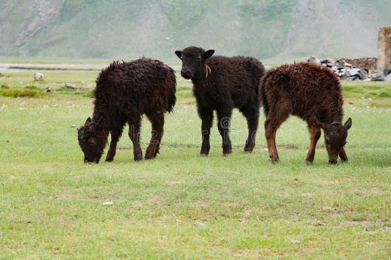 Brown pasania zieleni paśnika łydkowa trawa zdjęcia royalty free