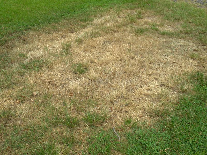 Brown Patch fungus in lawn. Brown patch fungus spreading across the lawn stock photo