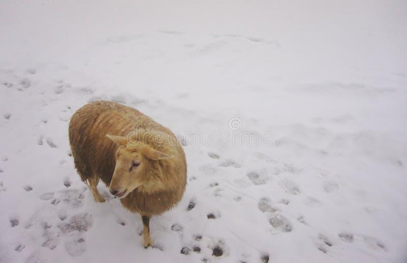 Brown/pecore beige che posano nella neve fotografia stock libera da diritti