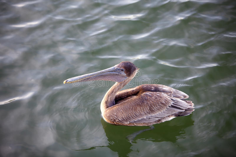 Download Brown Pelican stock illustration. Image of illustration - 13443770