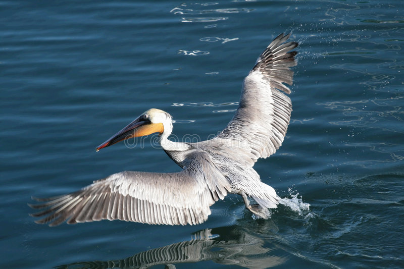 Download Brown Pelican stock image. Image of water, birds, pelican - 1711585