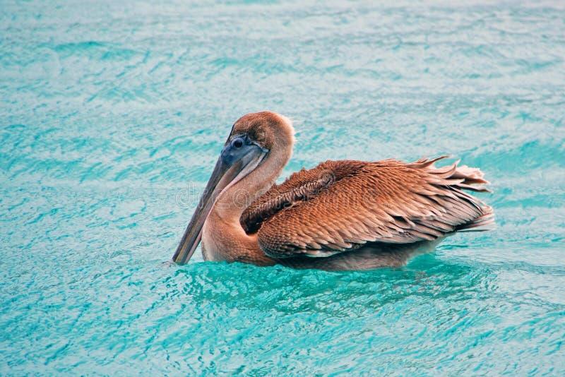 Download Brown Pelican stock photo. Image of heyns, blue, pelican - 21677394
