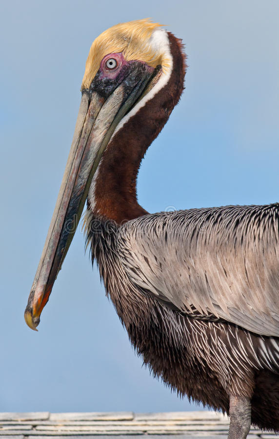 Free Brown Pelican Stock Photo - 22322520