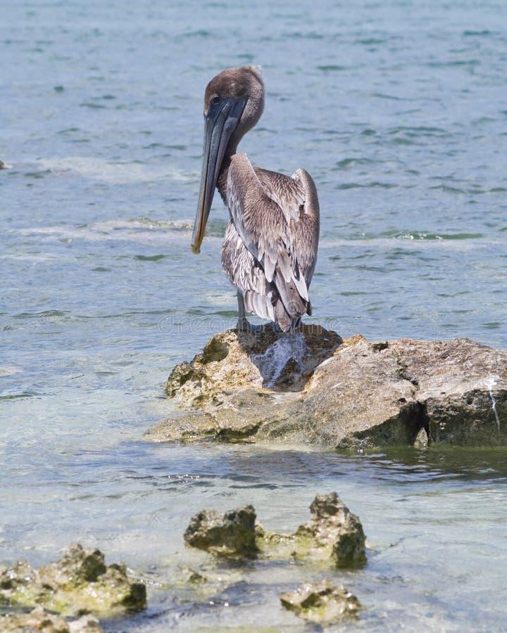 Download Brown Pelican Stock Image - Image: 25937051
