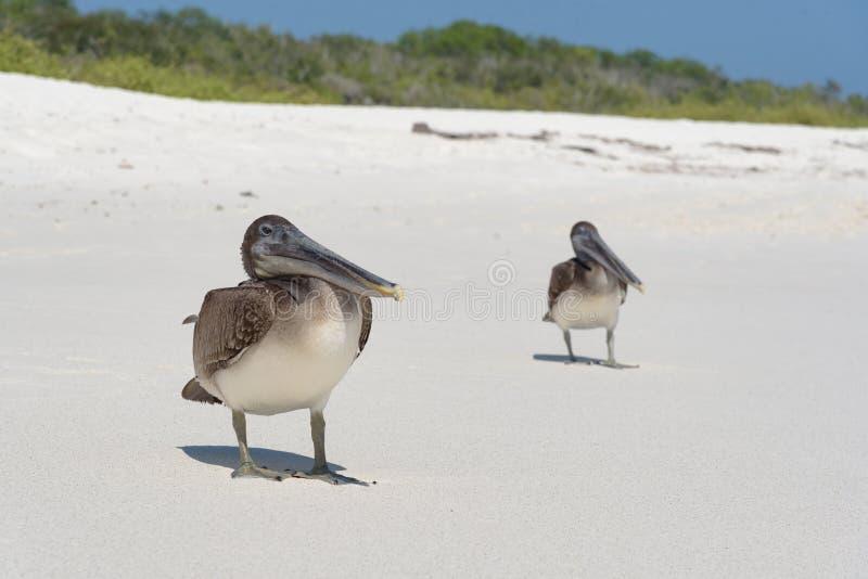 Brown Pelican on the beach on Gardner Bay, Espanola, Galapagos Island, Ecuador, South America stock photography