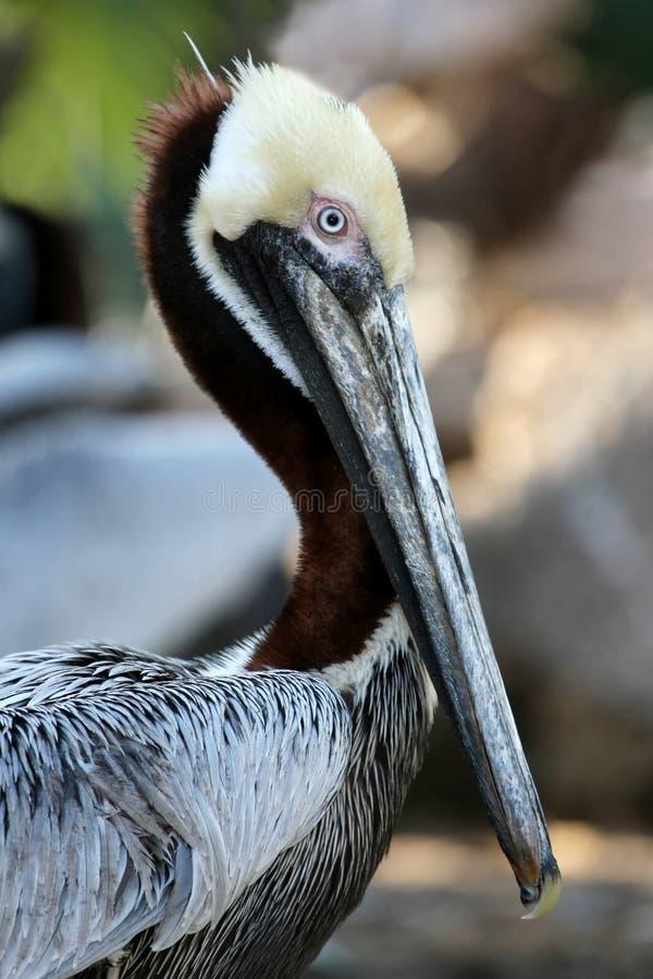 Brown Pelican Bird. Beautiful Brown Pelican with a long beak stock image