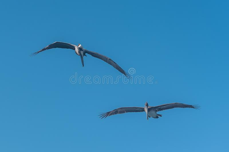 Brown pelican, birds. Brown pelican, two birds flying in blue sky in Guadeloupe royalty free stock image